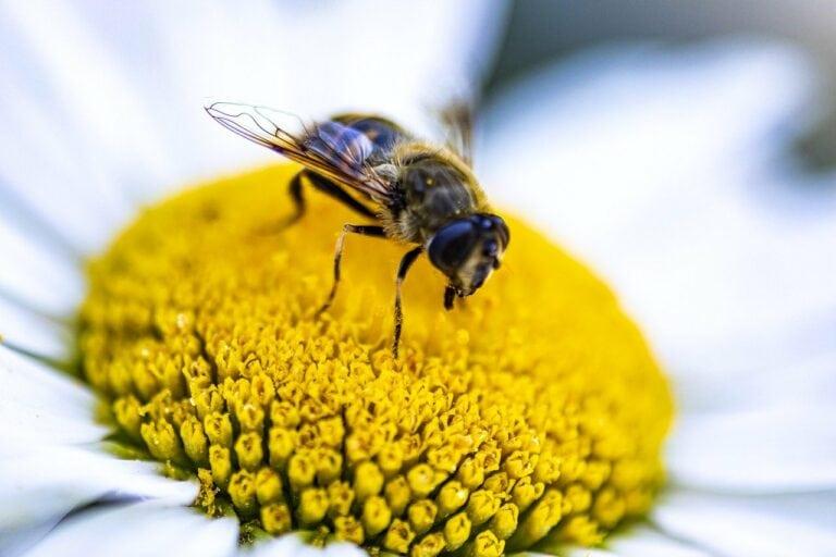 Garden Flower Bee Honey Bee Insect  - hulkiokantabak / Pixabay